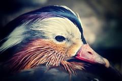 colour (fertraban) Tags: color colour bird duck ave pato pjaro nade plumas mandarn patomandarn
