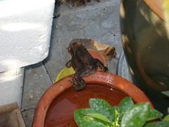 Frog on its way up the bassin (JedroNaden) Tags: brown cute se sweet frog bathing planter danmark brune bader grenouille leger mignon drivhus baigner fr sd