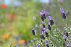 spring garden (snowshoe hare*(back and slowly catching up)) Tags: flowers garden lavender botanicalgarden frenchlavender  butterflylavender dsc3989   papillonlavender