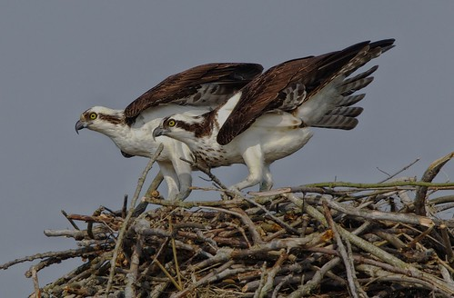 Osprey on the defense