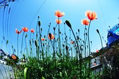 Start of Summer (hidesax) Tags: flowers blue light sky sun japan nikon sunny saitama ageo startofsummer sigma15mmf28exdgdiagonalfisheye hidesax d800e nikond800e