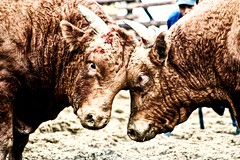 Cow Fighting (BaboMike) Tags: festival cow fight blood flickr head korea bull fighting southkorea bovine chongdo