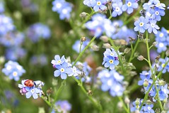 Vergissmeinnicht - Myosotis (izoll) Tags: macro bokeh sony pflanzen blumen blau makro insekt insekten käfer blüten marienkäfer glücksbringer vergissmeinnicht myosotis nahaufnahmen alpha580 izoll myosotissylvatika
