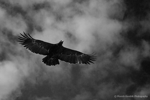 Steppe Eagle in Clouds