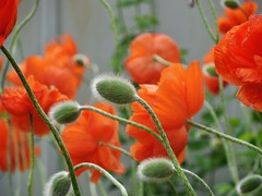poppies 013 (cellocarrots) Tags: poppies