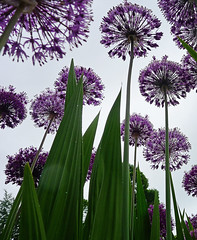 (tad2106) Tags: up spiky under perspective ground underneath allium day150 day150365 3652013 365the2013edition 30may13