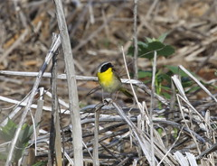 """Common Yellowthroat"" ""Geothlypis trichas"" (jackhawk9) Tags: nature birds canon newjersey wildlife ngc warblers edwinbforsythenationalwildliferefuge commonyellowthroat geothlypistrichas jackhawk9"