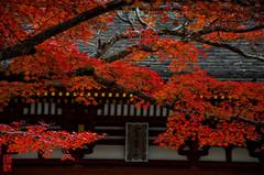 -  (snakecats) Tags: autumn autumnleaves  nara  autumnal    murouji