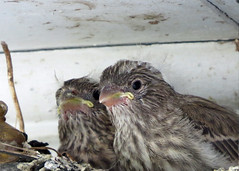 House Finch - Nestlings (Kelly Preheim) Tags: house finch