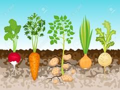 (cosmosout1) Tags: sky food green illustration garden ground vegetable fresh potato carrot onion growing radish vector