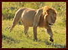 KING OF THE JUNGLE (Panthera leo)....MASAI MARA......SEPT,2015 (M Z Malik) Tags: nikon d3x 200400mm14afs kenya africa safari wildlife masaimara kws exoticafricanwildlife exoticafricancats flickrbigcats lionking leo ngc npc
