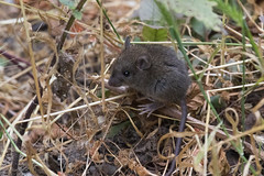 California Mouse (J.B. Churchill) Tags: ca california californiamouse mammals peromyscuscalifornicus places purismaredwoods rodents sanmateo taxonomy halfmoonbay unitedstates us