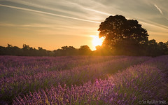 Sunrise in Surrey (Sue MacCallum-Stewart) Tags: lavender sunrise earlymorning flowers flora
