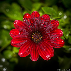 Simply Red (Eiona R.) Tags: garden2016 canonefs60mmf28usm macrolens raindrops osteospermum