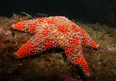 One of my favourites - Firebrick seastar - Asterodiscides truncatus #marineexplorer (Marine Explorer) Tags: scuba nature marine underwater marineexplorer