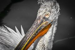 Dalmatian pelican (dimitrisrentis) Tags: hellas kastoria lake outdoor orestiada dalmatian pelican nature bird beauty nikon animal water macedoniagreece macedonian makedonia timeless