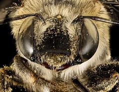Anthophora californica, f, face, Hidalgo Co., Animas, NM_2016-07-19-18.16 (Sam Droege) Tags: zerenestacker stackshot geologicalsurvey unitedstatesgeologicalsurvey departmentoftheinterior droege biml beeinventoryandmonitoringlaboratory bug bugs canon closeup macro insect patuxentwildliferesearchcenter pwrc usgs dofstacking stacking canonmpe65 taxonomy:binomial=anthophoracalifornica bee bees apoidea hymenoptera pollinator nativebee joaquinmogollon hidalgocounty newmexico anthophora pollen servicing flowers dusted