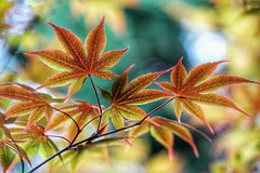 Changing colors (JPShen) Tags: changing color maple leaf leaves