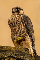 Peregrine Pose (jammo s) Tags: norwichperegrine norwichperegrinefalcon norwichcathedralperegrine peregrinefalcon peregrine nature wildlife raptor birdofprey fledge bird canoneos80d canonef500mmf4lusm canonef2xiiiextender