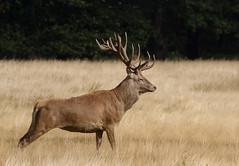 Red-Deer-1594 (Kulama) Tags: reddeer deer nature wildlife woods land summer canon7d sigma150600c563