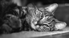 The Pooh (Matthew James Lewis) Tags: cat blackandwhite ziess50mm17cy bokeh pooh variouspictures ziess50mm17