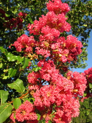 Flowers On A Crape Myrtle. (dccradio) Tags: lumberton nc northcarolina robesoncounty sky bluesky flowers crapemyrtle crepemyrtle tree bush scenic pretty leaves plant greenery floweringtree floweringbush