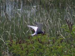 Whiskered Tern - Lake Skadar - 160609-07 (mwiddo) Tags: lake skadar whiskered tern bird