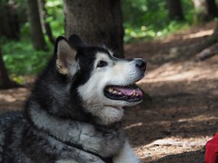 Posing Under the Pines (Devthor) Tags: sht superiorhikingtrail malamute lilu dog backpacking outdoor north shore lake superior minnesota hiking