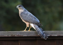Coop Visiting (Hockey.Lover) Tags: coopershawk birds myyard backyardbirds backyard explore