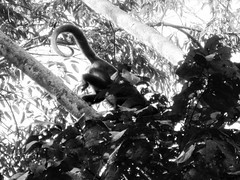 monkey tail b and w.jpg (actionjackson.special1) Tags: monkey tail curl trees amazon jungle peru blackandwhite bw