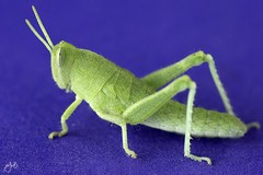 IMG_7472 (Jamil-Akhtar) Tags: canon6d canonmpe65mmf28 nature macro insect grasshopper green purple islamabad pakistan