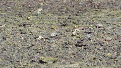 double banded plover, breeding, king island wellington point mjc-2016-08-16-IMG_2135 (wiccked) Tags: birding birds wellingtonpoint kingisland