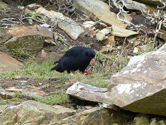 Chough  P1290731 (ianpreston) Tags: wales isleofanglesey southstacklighthouse chough rspb 2016