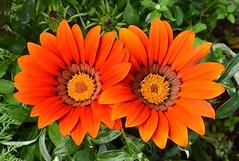 Vermillion Lodge flowers (Pat's Pics36) Tags: nikond7000 nikkor18to200mmvrlens canada bc britishcolumbia tulameen tulameentrip orange orangeflowers
