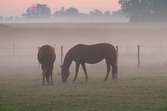 Misty morning (Infomastern) Tags: sdersltt animal countryside dawn dimma djur fog gryning horse hst landsbygd landscape landskap mist soluppgng sunrise
