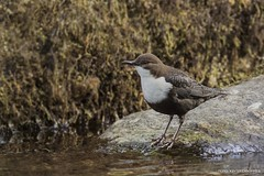 Melro de agua, White-throated Dipper (Cinclus cinclus) (xanirish) Tags: melrodeagua whitethroateddippercincluscinclusemliberdadewildlifenunoxavierlopesmoreirangc ngc wildlife nuno xavier moreira selvagem liberdade aves portugal cincluscinclus whitethroateddipper