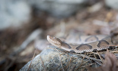 Copperhead (cre8foru2009) Tags: agkistrodoncontortrix copperhead snake snakes wildlife nature georgia herping reptile
