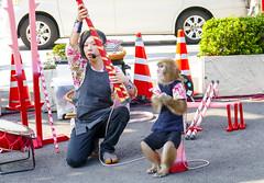 monky show at Tokyo Shiba (sapphire_rouge) Tags: monkey tokyotower   monkeyshow   streetperformance  japan tokyo girl performance lady animal