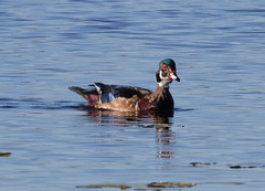 Wood Duck coming into his spectacular plumage. (Laura Erickson) Tags: anatidae stlouiscounty woodduck birds duluth westernwaterfronttrail minnesota species places anseriformes aixsponsa indianpoint