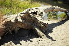 log (julietkitz) Tags: log tree sand sandy beach warm warmtones water river grass