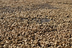 2016 Oct - coffee beans spread out to dry (Foods Resource Bank) Tags: haiti caribbean coffee farmers men women pruning improved income humanitarian food security development charity hunger
