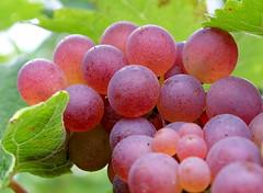 Wake up, Rosy Cheeks! (Goruna) Tags: grapes grapevine trauben berries rosy fruit autumn autumndelight goruna