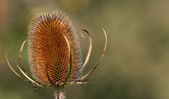 Teasel 110916 (1) (Richard Collier - Wildlife and Travel Photography) Tags: flowersenglishflowers flowers wildflowers flowerheads teaseldipsacuspilosus flora macro closeup