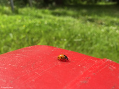 cocci rouge tranquille (alexandrarougeron) Tags: rouge feuille vert nature coccinelle