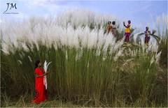 ||    || (joydeepmukherjee322) Tags: nikond7000 tamron1750mmf28 autumn ruralbengal girls kash festivemood