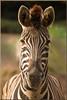 Plains zebra (Foto Martien) Tags: plainszebra quagga commonzebra burchellszebra kwagga paintedzebra steppezebra gewonezebra pferdezebra steppenzebra zèbredesplaines cebracomún llanura planicie equusquagga equusburchelli southethiopia eastafrica congo zambia tanzania kenia rwanda somalia sudan uganda treelessgrassland openwoodland wetland africa afrika horse paard zooduisburg germany deutschland duitsland northrhinewestphalia nordrheinwestfalen zoo dierenpark dierentuin geotaggedwithgps sony a77 sonyalpha77 sonyslta77v tamron70300mmf456sp martienuiterweerd fotomartien