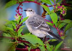 Northern Mockingbird (jt893x) Tags: 150600mm bird d500 jt893x mimuspolyglottos mockingbird nikon nikond500 northernmockingbird sigma sigma150600mmf563dgoshsms songbird specanimal