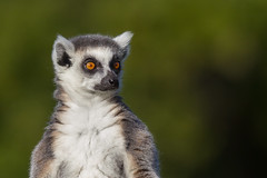 Ring tailed Lemur (Click U) Tags: canon 1d mkiv ring tailed lemur 300mm f28is