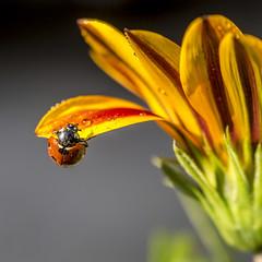 Ladybug (Bnhidai Bea) Tags: ladybug insect macro macrodreams makro flower waterdrops