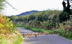 Partridges on the road to nowhere, (Les Fisher) Tags: partridges roadtonowhere northnorfolk norfolk escape
